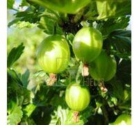 Крыжовник Малахит зеленый среднеспелый, DekoPlant