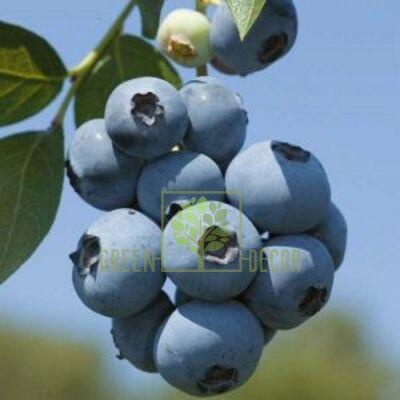 Саженец Черника садовая (голубика) Бригитта Блю высокорослая, DekoPlant