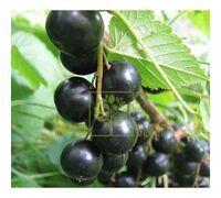 Смородина черная Ориана ранняя, DekoPlant