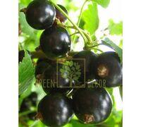 Смородина черная Ориана среднеранняя 3 шт, DekoPlant