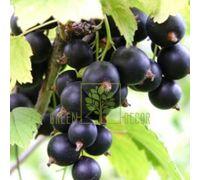 Смородина черная Вернисаж среднеранняя, DekoPlant