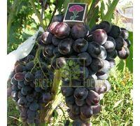 Виноград Фуршетный, DekoPlant