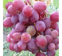 Виноград Анюта, DekoPlant