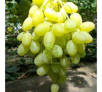 Виноград Конвалія, DekoPlant