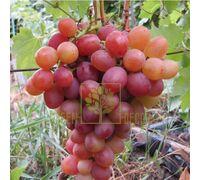 Виноград Ливия, DekoPlant