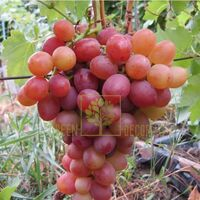 Виноград Лівія, DekoPlant