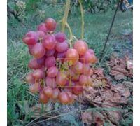 Виноград Одисей, DekoPlant