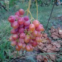 Виноград Одісей, DekoPlant