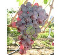 Виноград Рубиновый Юбилей, DekoPlant