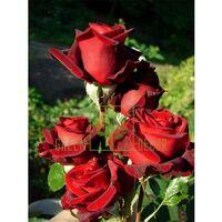 Роза Блэк Мэджик чайно-гибридная темно-красная, DekoPlant
