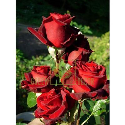 Саженец Роза Блэк Мэджик чайно-гибридная темно-красная, DekoPlant