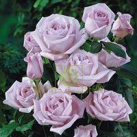 Троянда Блю Мун плетиста бузкова, DekoPlant