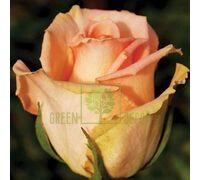 Роза Версилия чайно-гибридная кремовая, DekoPlant