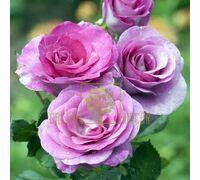 Троянда Віолет Парфум плетиста бузкова, DekoPlant