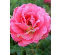 Роза Этюд плетистая темно-розовая, DekoPlant