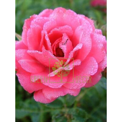 Саженец Роза Этюд плетистая темно-розовая, DekoPlant