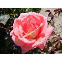 Роза Монтезума чайно-гибридная ярко-розовая, DekoPlant