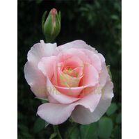 Роза Соло Пинк, чайно-гибридная розовая, DekoPlant