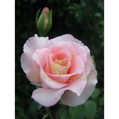 Чайно-гибридные Роза Соло Пинк, чайно-гибридная розовая, DekoPlant от DekoPlant |Green Decor