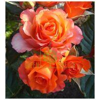 Роза Верано чайно-гибридная оранжево-желтая, DekoPlant
