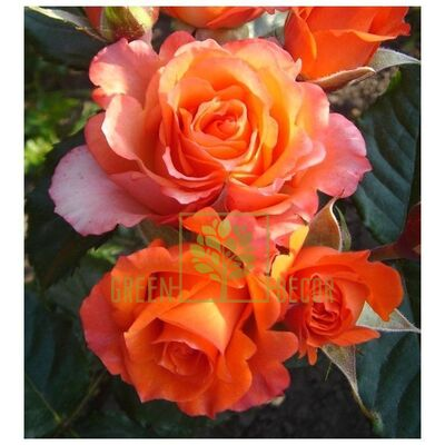 Саджанець Троянда Верано чайно-гібридна оранжево-жовта, DekoPlant