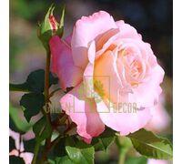 Роза Августа Луиза чайно-гибридная абрикосовая, DekoPlant