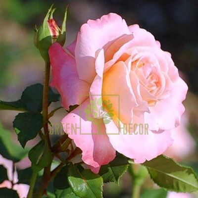 Саженец Роза Августа Луиза чайно-гибридная абрикосовая, DekoPlant