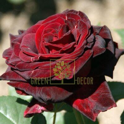 Саженец Роза Блэк Баккара чайно-гибридная темно-красная, DekoPlant
