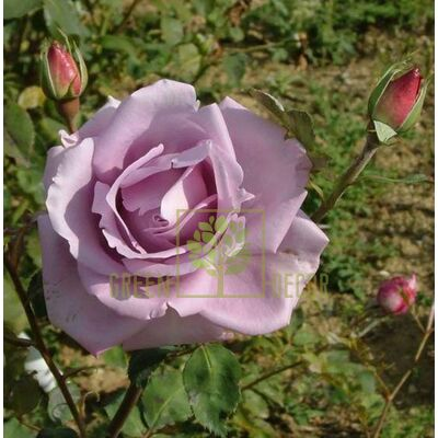 Саджанець Троянда Блю Мун чайно-гібридна блакитна, DekoPlant