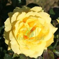 Роза Чайнатаун чайно-гибридная желтая, DekoPlant
