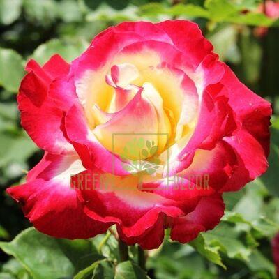 Саженец Роза Дабл Дилайт чайно-гибридная белый с малиновым, DekoPlant