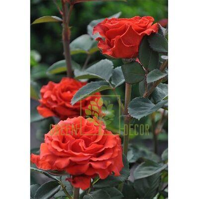 Саженец Роза Эль Торо, чайно-гибридная темно-оранжевая, DekoPlant