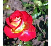 Роза Френдшип чайно-гибридная красная с желтым низом, DekoPlant