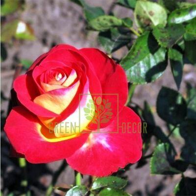 Саджанець Троянда Френдшип чайно-гібридна червона з білим низом, DekoPlant