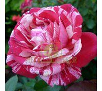 Роза Папагено чайно-гибридная красная в белую полоску, DekoPlant