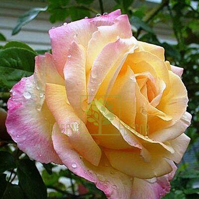 Саженец Роза Пис чайно-гибридная желто-розовая, DekoPlant