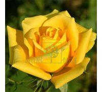 Роза Соло Еллоу чайно-гибридная желтая, DekoPlant