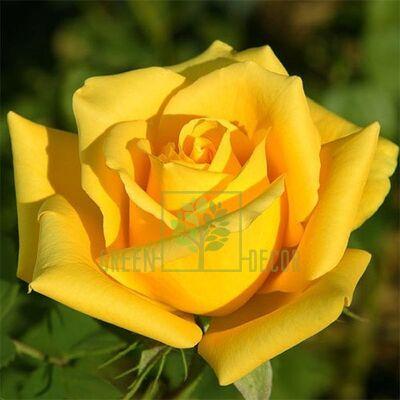 Саженец Роза Соло Еллоу чайно-гибридная желтая, DekoPlant