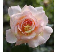 Роза Соло Крем чайно-гибридная кремово-розовая, DekoPlant