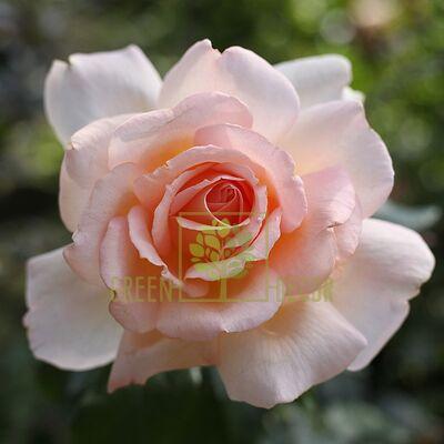Саженец Роза Соло Крем чайно-гибридная кремово-розовая, DekoPlant