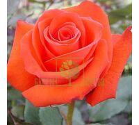 Роза Соло Оранж чайно-гибридная оранжевая, DekoPlant