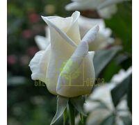 Роза Соло Вайт, чайно-гибридная белая, DekoPlant