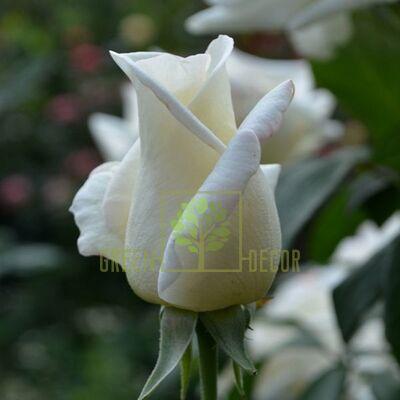 Саджанець Троянда Соло Вайт, чайно-гібридна біла, DekoPlant