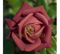 Роза Терракота чайно-гибридная красно-коричневая, DekoPlant