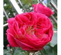 Роза Ред Иден Роуз парковая красная, DekoPlant
