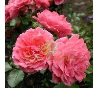Роза Розариум Утерзейн парковая розовая, DekoPlant