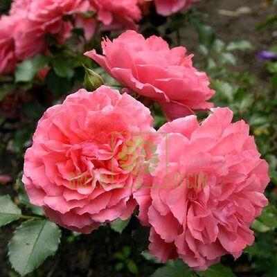 Саженец Роза Розариум Утерзейн парковая розовая, DekoPlant