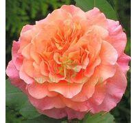 Роза Вэстэрленд, (Корвест) парковая оранжевая, DekoPlant