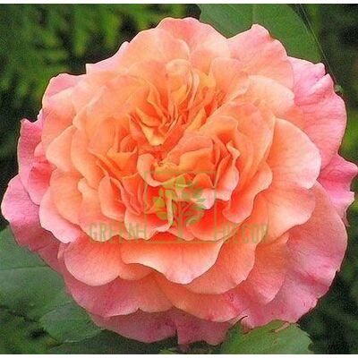 Саджанець Троянда Вэстэрленд (Корвест) паркова помаранчева, DekoPlant