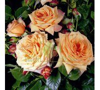 Роза Барок плетистая абрикосовая, DekoPlant